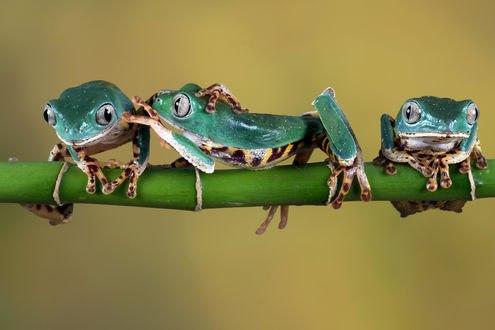 Обои Три забавные лягушки сидят на стебле бамбука