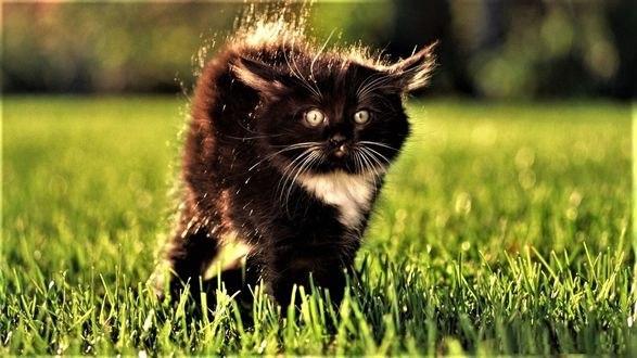 Обои Испуганный черный котенок выгнул спинку