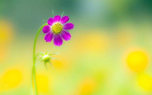 Обои Цветок космеи, размытость