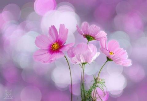 Обои Розовые цветы космеи на фоне боке, фотограф Jasna Matz
