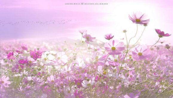 Обои Поле розовой космеи, фотограф Jasna Matz