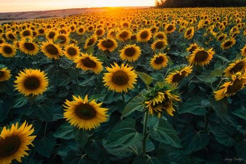 Обои Поле подсолнухов освещается солнцем, фотограф Цветков Сергей