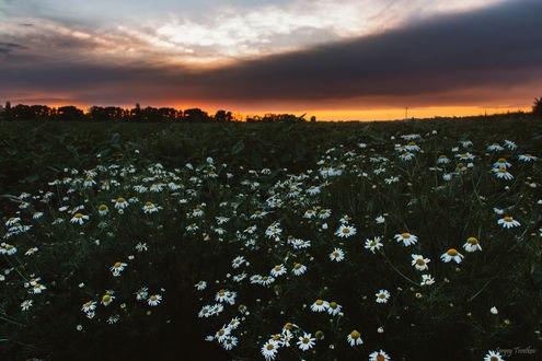 Обои Поле ромашек на закате, фотограф Цветков Сергей