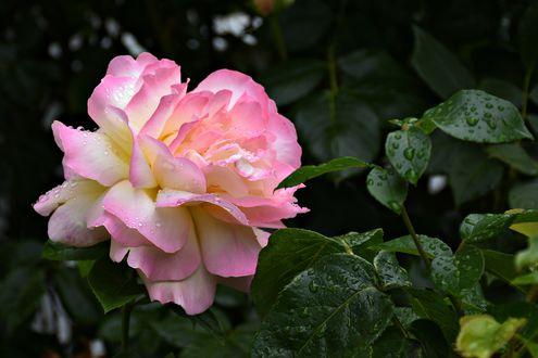 Обои Нежная бело-розовая роза в каплях воды среди листьев