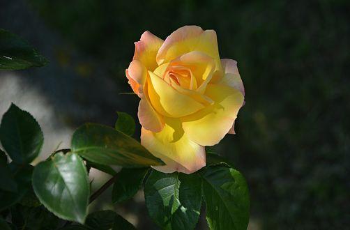 Обои Желтая роза на размытом темном фоне