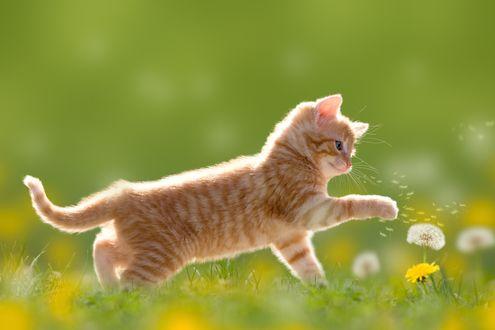 Обои Маленький рыжий полосатый котенок играет с одуванчиками на зеленой травке