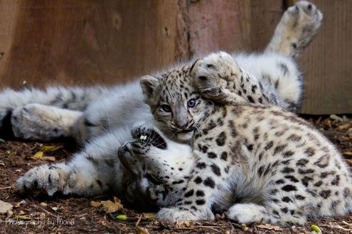 Обои Играющие на земле леопарды, фотограф Digi-Mona