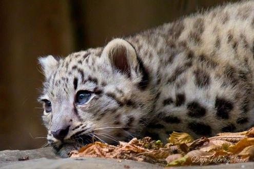Обои Леопард лежит на земле, Digi-Mona