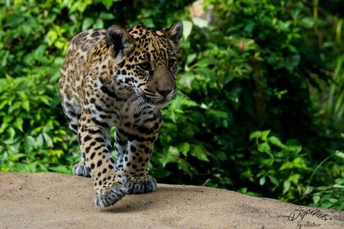 Обои Шагающий ягуар на природе, фотограф Digi-Mona