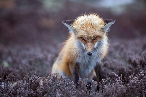 Обои Рыжая лиса на поляне цветов, фотограф Jon Albert