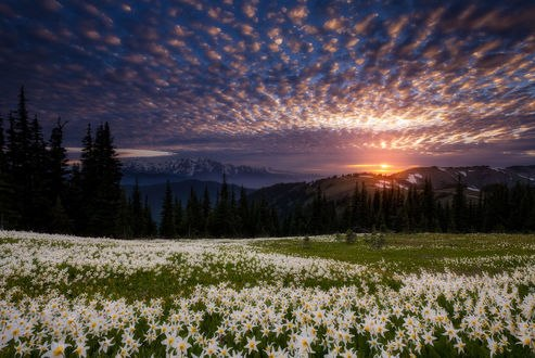 Обои Поле лавинных лилий под Олимпийскими горами, фотограф Doug Shearer