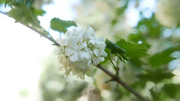 Обои Белые цветы на ветке