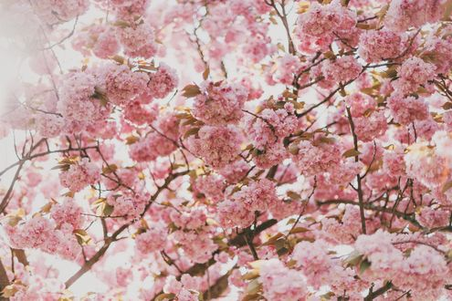 Обои Цветущая сакура крупным планом