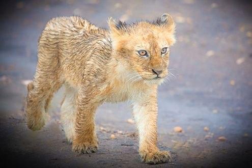 Обои Маленький львенок, фотограф Libor Ploсek