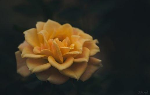 Обои Желтая роза на размытом фоне, фотограф Midori
