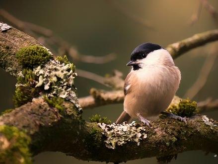 Обои Гаичка буроголовая сидит на ветке дерева, by new_bri_gitte