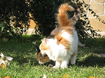 Обои Два рыжих кота вынюхивают что-то в траве