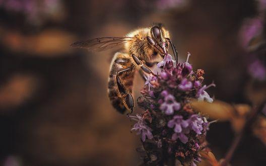 Обои Пчела на лаванде, макросъемка