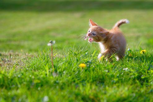 Обои Маленький рыжий котенок пытается схватить зубами одуванчик на зеленой лужайке