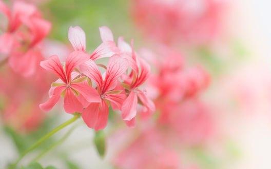 Обои Розовые цветы на размытом фоне, фотограф Paula W
