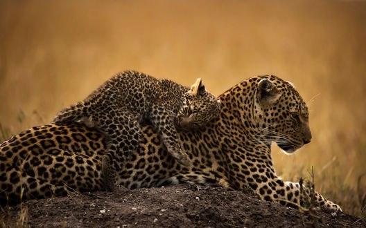 Обои Детеныш леопарда спит на своей маме