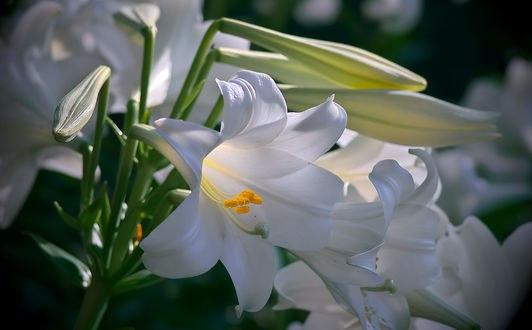 Обои Белые лилии, фотограф Aki
