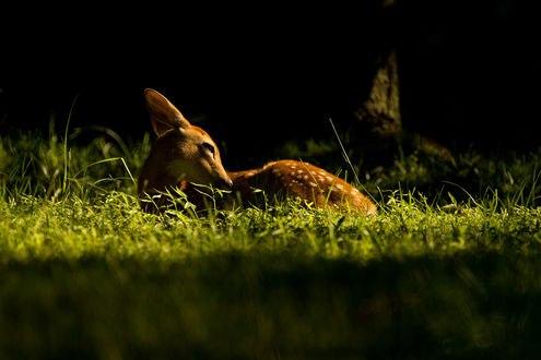 Обои Олененок лежит в траве, фотограф Carl Monopoli