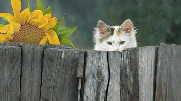 Обои Белый кот выглядывает из-за ограды, рядом с ним подсолнух