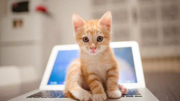 Обои Рыжий котенок сидит на раскрытом ноутбуке