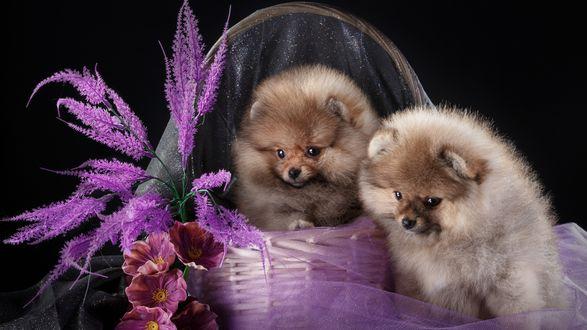 Обои Два шпица сидят в корзинке с цветами