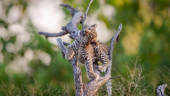 Обои Маленький детеныш леопарда играет на сухом дереве