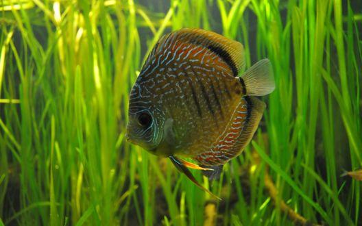 Обои Рыбка Дискус в аквариуме