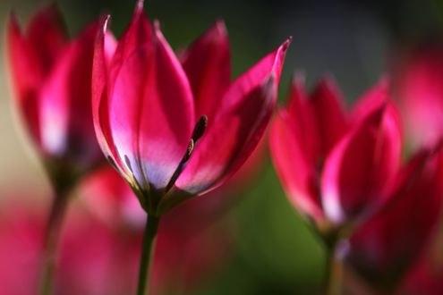 Обои Розовые тюльпаны крупным планом