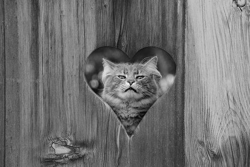 Обои Морда кота в отверстии в виде сердечка в заборе. Фотограф Sergii Vidov