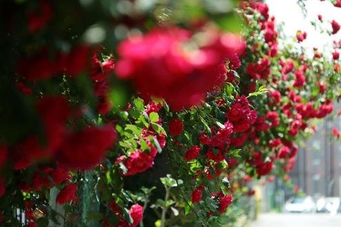 Обои Кусты роз на заборе, фотограф tinayang200