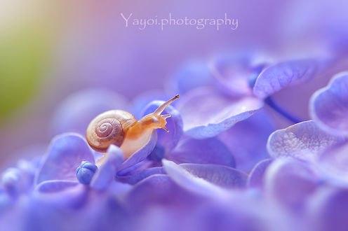 Обои Улитка на голубом цветке. Фотограф Yayoi. Sakurai
