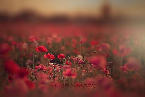 Обои Поле красных маков. Фотограф Yayoi. Sakurai