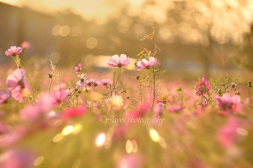 Обои Цветы космеи на размытом фоне. Фотограф Yayoi. Sakurai