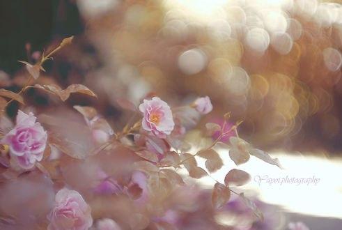Обои Куст розовых роз на размытом фоне. Фотограф Yayoi. Sakurai