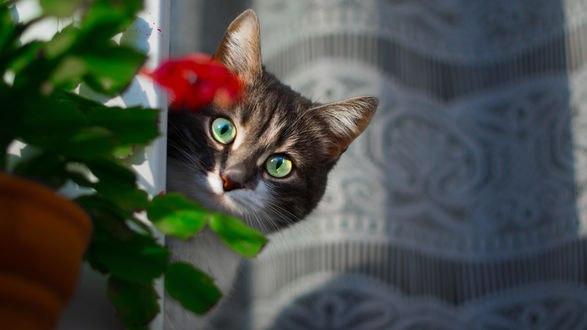 Обои Кот смотрит из-за цветка в горшке, фотограф Роман Алябьев