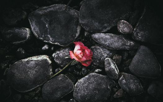 Обои Розовая роза среди камней