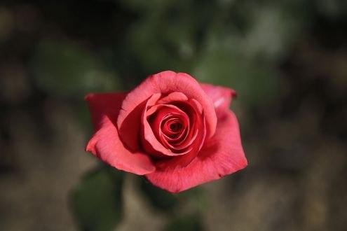 Обои Роза крупным планом
