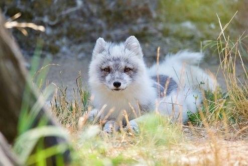 Обои Серый лис в траве, фотограф Jesse Sacdalan