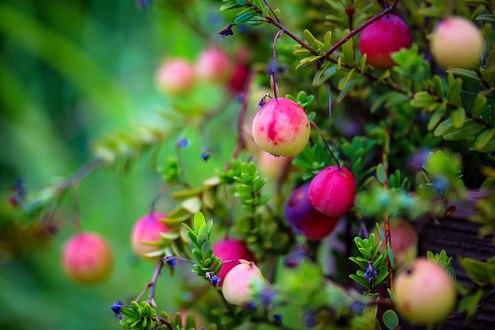 Обои Яблоки и ягоды на кусте