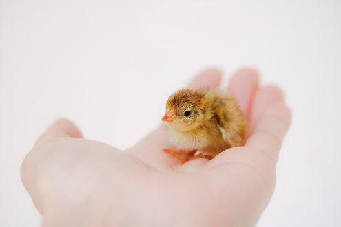 Обои На руке человека маленький цыпленок