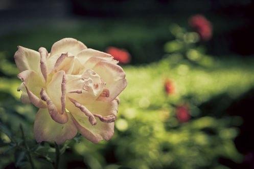Обои Кремовая роза, фотограф Alessandro Rizzolli