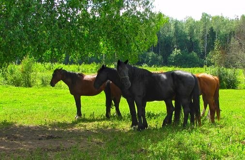 Обои Лошади на природе, фотограф Dzintra Regina Jansone