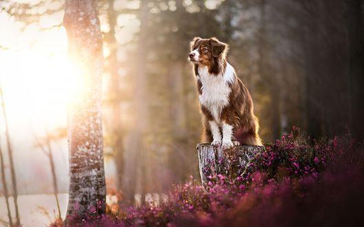 Обои Собака сидит на пеньке среди мелких розовых цветов