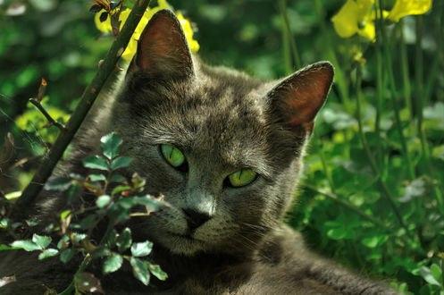 Обои Русско-голубая кошка лежит на природе в траве
