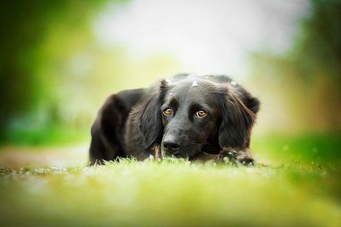 Обои Пес породы Ретривер лежит на траве